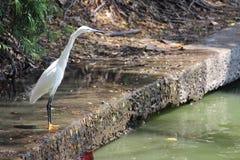 Little Egret at Lumphini Park Bangkok Royalty Free Stock Photo