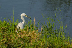 Little Egret a meadow water shore Royalty Free Stock Image