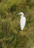 Little Egret perching on tree royalty free stock photos