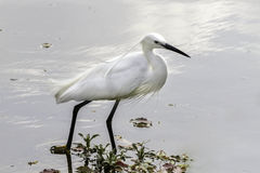 Little Egret in the pond. The white little egret progresses through the edge of the shore, pond Royalty Free Stock Photo