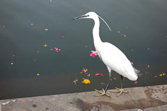 Little Egret of Rajasthan. A little white egret of the heron family stands on the steps of Pushkar lake in Rajasthan with many flowers floating in the water Royalty Free Stock Image