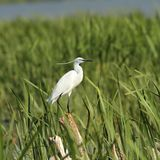 Little egret on reeds Royalty Free Stock Photography