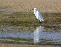 Little egret reflected in tidal pool. A little egret stalks through a tidal pool Royalty Free Stock Photography