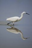 Little Egret reflecting in the Water Stock Images