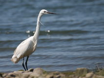 Little Egret on river, Egretta garzetta Stock Photography