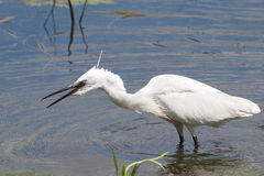 Little Egret on river, Egretta garzetta Stock Images
