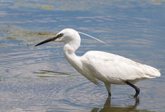 Little Egret on river, Egretta garzetta Royalty Free Stock Photography