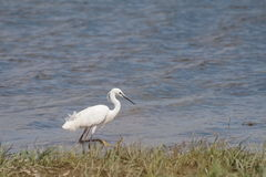 Little Egret on river, Egretta garzetta Royalty Free Stock Photo
