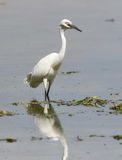 Little Egret in river Royalty Free Stock Photo