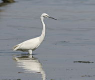 Little Egret in river Royalty Free Stock Photos