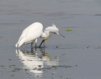 Little Egret in river Royalty Free Stock Image