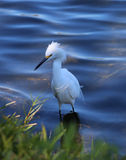 Little egret in the river Stock Photography