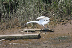Little Egret. By the River Teign Stock Image