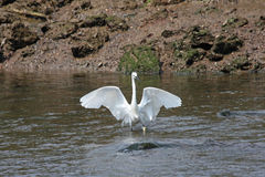 Little Egret. In the River Teign Royalty Free Stock Photography