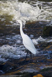 Little Egret on Standing on Rocks. A Little Egret standing on the rocky shore near fast running waters royalty free stock photography