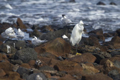 Little egret and Sandwich Terns Stock Images