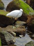 Little Egret Searching for Fish Stock Photos