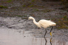 Little egret seeking for food near the water. 