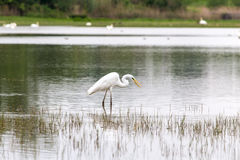 Little egret seeking for food. Near the water Stock Photo
