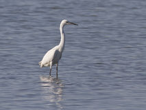Little Egret in the shallows. Stock Photos