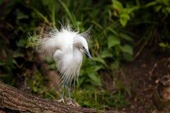 Little egret showing breeding season plumage Stock Photo