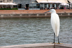 Little Egret sitting on a background of the promenade. Mediterranean coast. Tel Aviv seafront in the old port Royalty Free Stock Photography