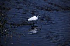 Little egret Stock Photos