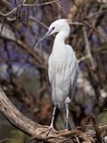 Little egret in a spanish bioparc Stock Photography