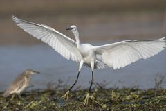 Little Egret Landing. The little egret is a species of small heron in the family Ardeidae Royalty Free Stock Photography