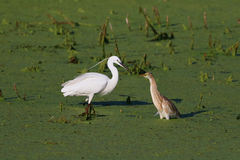 Little egret and squacco heron Royalty Free Stock Image