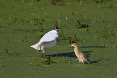 Little egret and squacco heron Royalty Free Stock Images