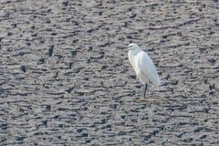 Little Egret Standing on Dry Pond Egretta garzetta royalty free stock images