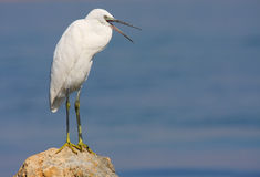 Little egret standing on rock Royalty Free Stock Images