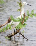 Little egret standing in shallow water hiding behind plant. Little egret Egretta garzetta standing in shallow water at the shore of Lake Victoria, Kenya Royalty Free Stock Image
