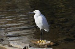 Little Egret. Standing on stone near river edge, Kamo-gawa, Kyoto, Japan Royalty Free Stock Images