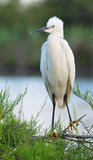 Little Egret standing on a tamarix branch. Little Egret (egretta garzetta) standing on a tamarix branch Royalty Free Stock Photography