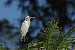 Little egret standing on the tree Stock Image
