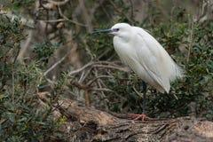 Little egret Stock Images