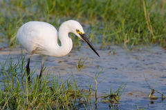 Little Egret standing in water Stock Images