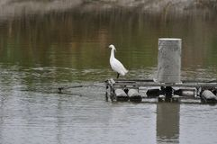 A Little Egret at a fish pond next to Mai Po Nature Reserve Hong Kong. A Little Egret stood at the air pump at a fish pond next to Mai Po Nature Reserve Hong Royalty Free Stock Images