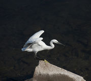Little egret stood on a rock Royalty Free Stock Image