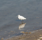 Little egret stood in shallow water Stock Images