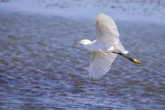 Little Egret take off from blue pond Royalty Free Stock Photo