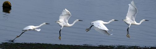 Little Egret Taking Off royalty free stock image