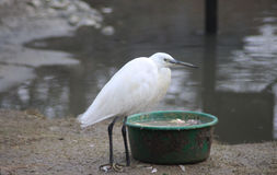 Little egret Royalty Free Stock Images