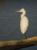Little Egret under morning light Royalty Free Stock Photos