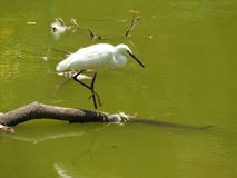 Little Egret. Is very common in near by any water bodies. This picture is taken from the Lake in Lalbagh, Bangalore Royalty Free Stock Image