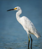 Little egret wading in Jamaica Bay. Little egret standing in the waters of Jamaica Bay Wildlife Refuge, Queens, New York. This heron family bird was photographed Royalty Free Stock Photography