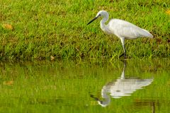 Little Egret wading in shallow pond finding food stock image
