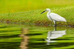 Little Egret wading in shallow pond finding food royalty free stock photo